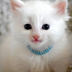 Chaton blanc pur