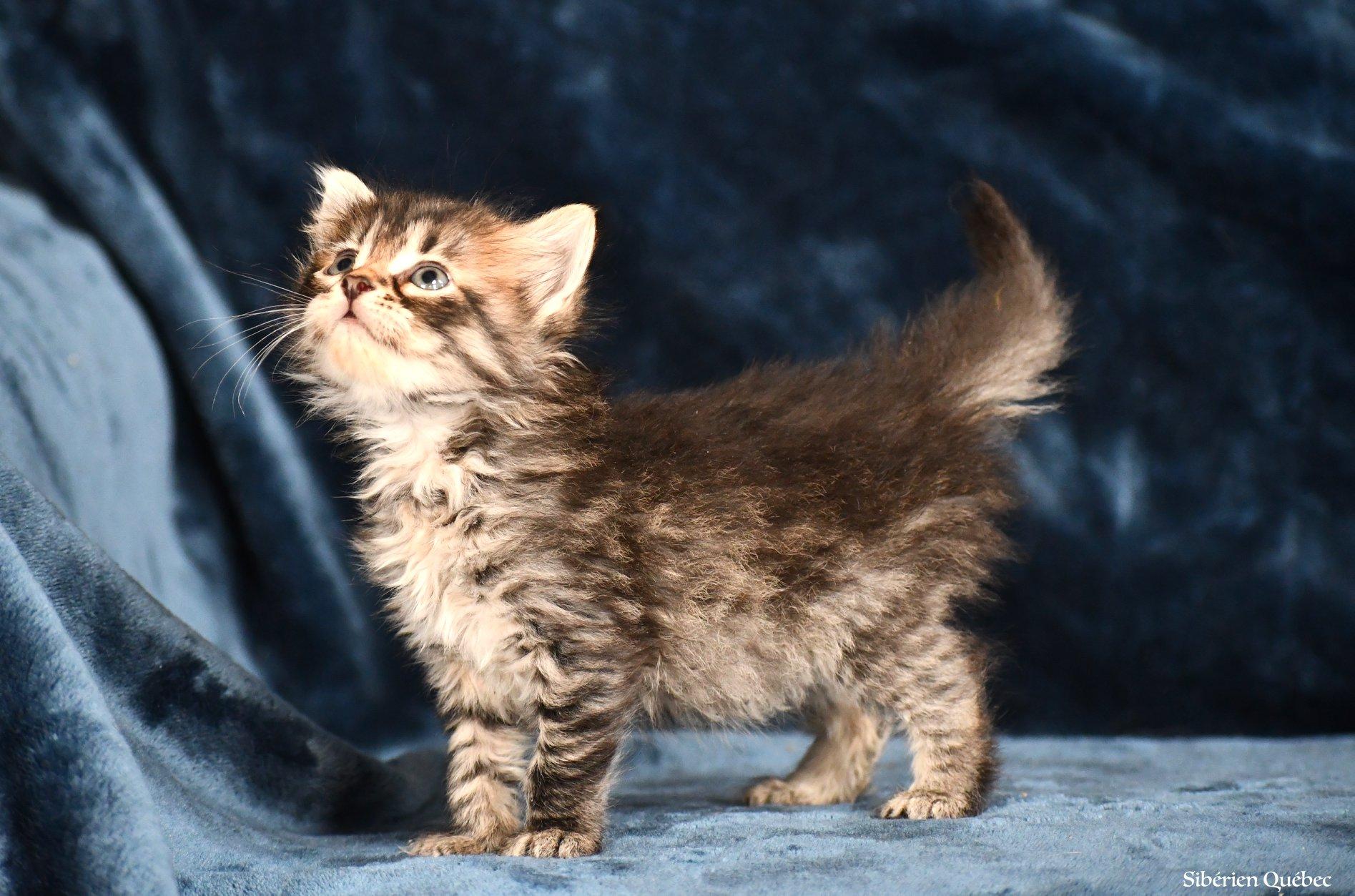 chaton sibérien brown tabby