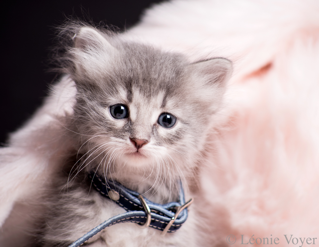 Available Siberian Kittens ( Hypoallergenic )