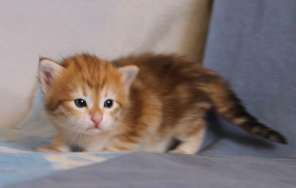 Garfield baby - Sibérien Québec