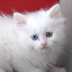 Chaton sibérien yeux varions - hétérochromique