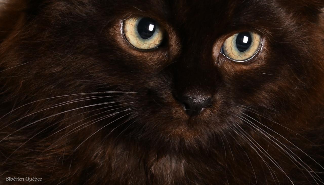 Close-up Chaton Sibérien Femelle Noir