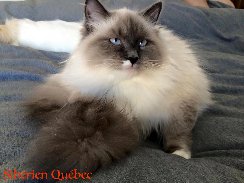 Amelie - Sibérien Québec