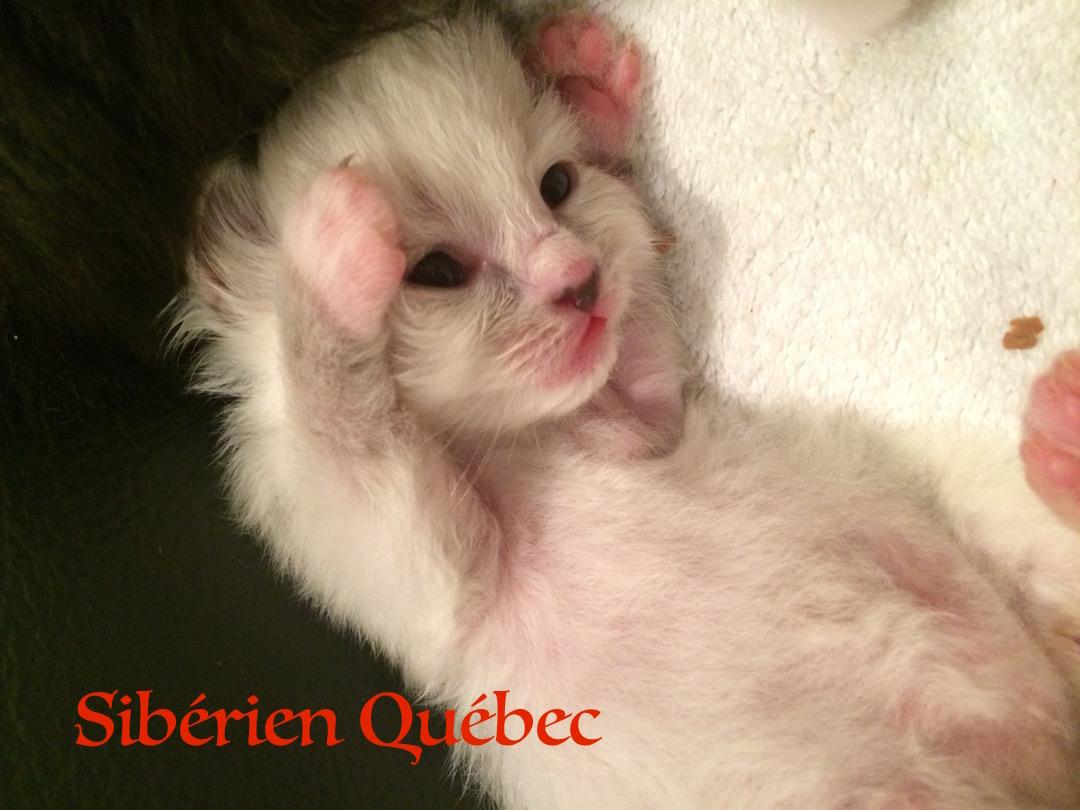 Cappucine bébé - Sibérien Québec