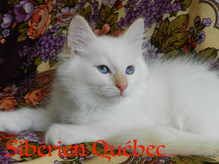 Elisey ado - Sibérien Québec