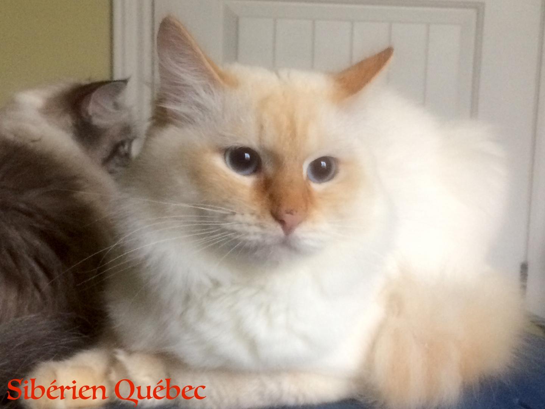 Elisey adulte - Sibérien Québec
