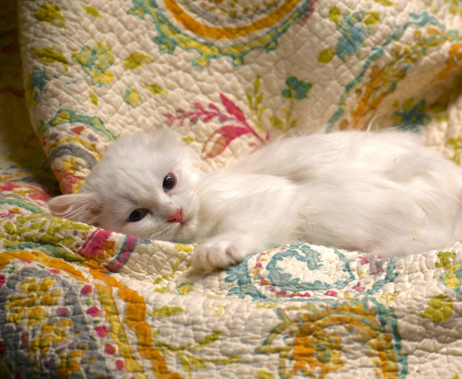 Femelle blanc 1 yeux bleu