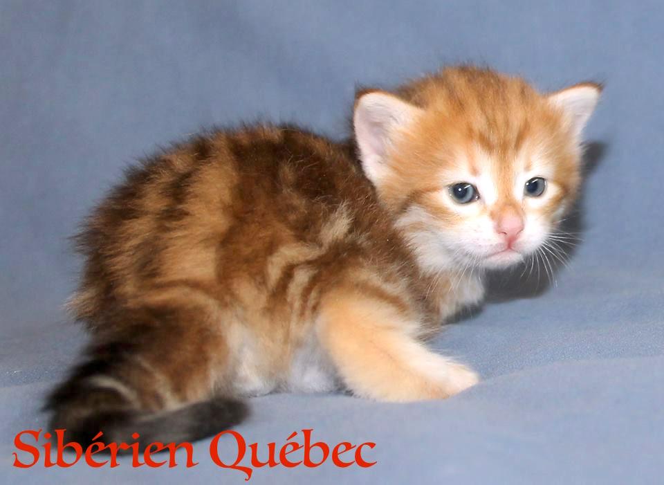 Garfield bebe -Sibérien Québec