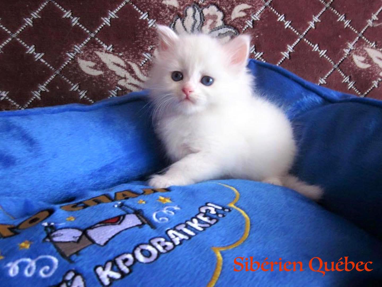 Lancelot baby - Siberian Quebec