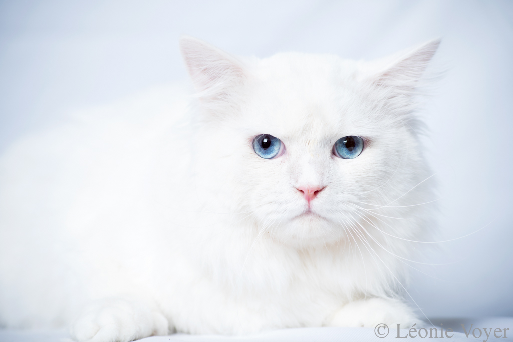 Lancelot - Siberian Quebec