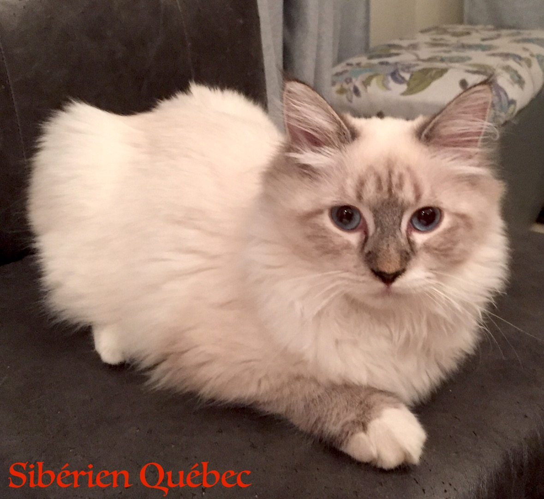 Lateya ado - Sibérien Québec