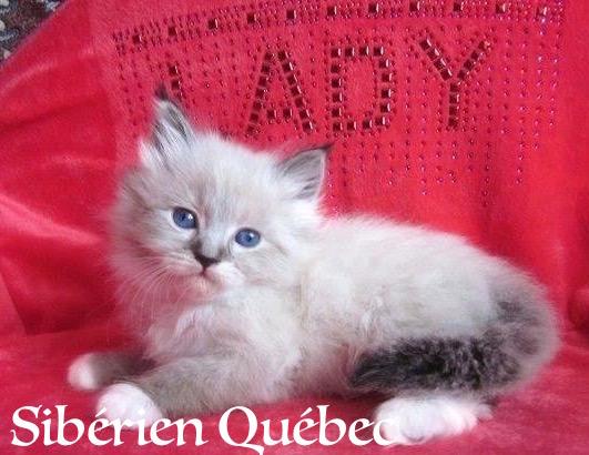 Lateya bébé - Sibérien Québec