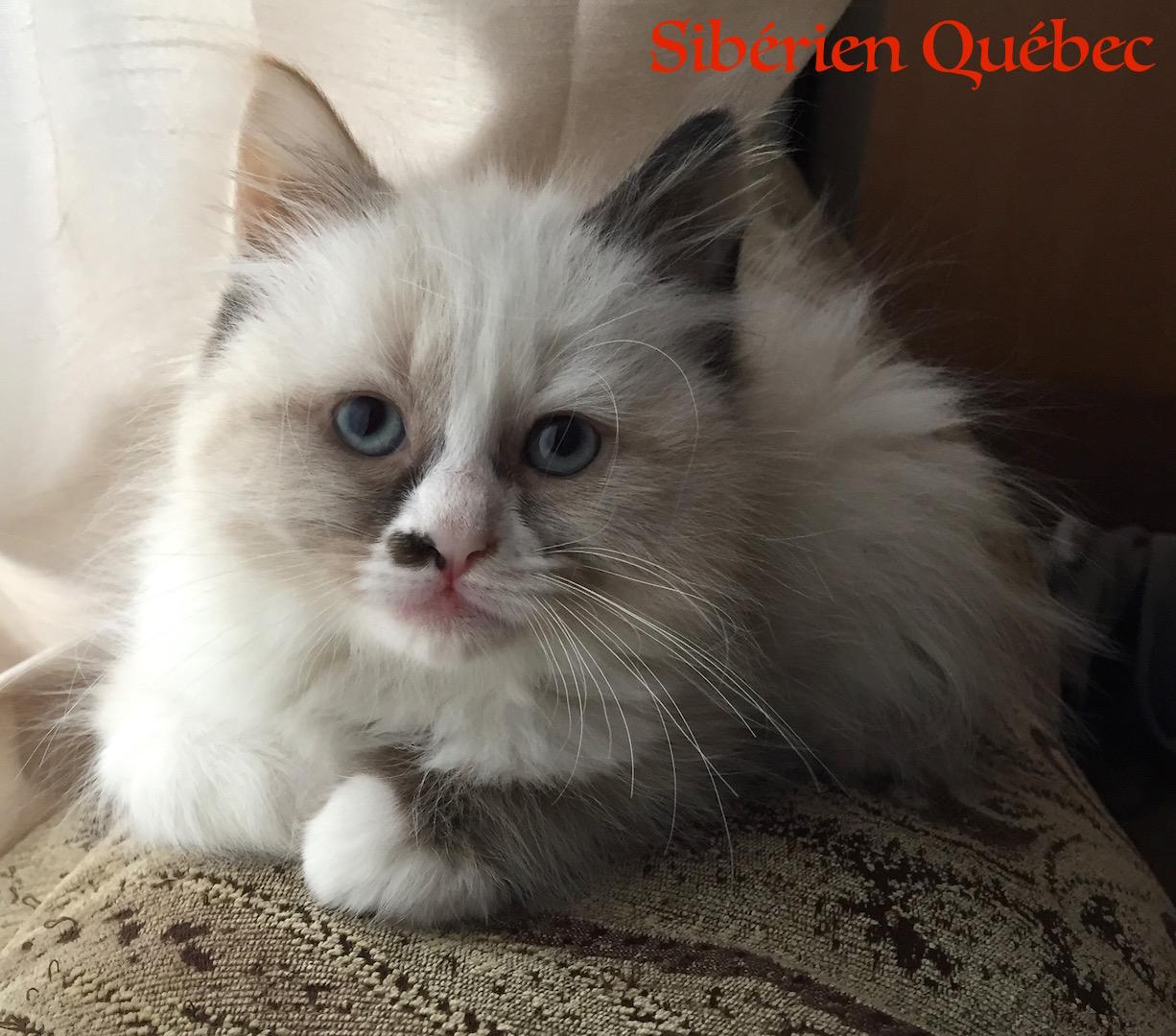 Meli-melo bébé - Sibérien Québec