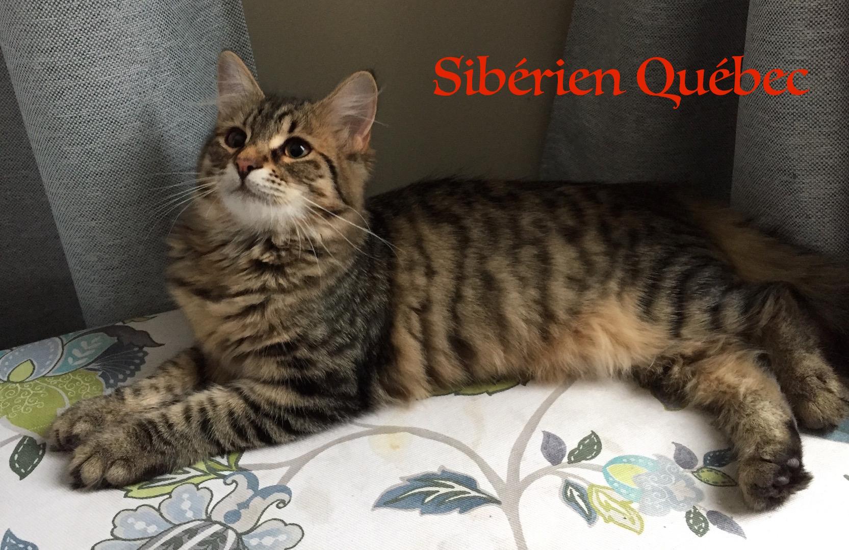 Tigresse ado - Sibérien Québec
