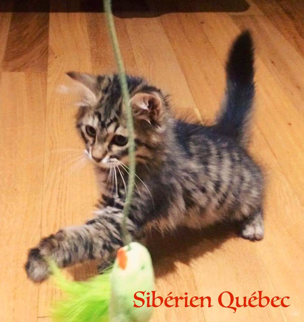 Tigresse bebe - Sibérien Québec